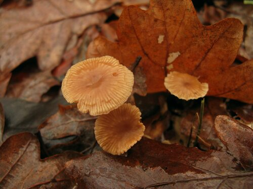 Чесночник дубовый (Marasmius prasiosmus). Прежде не находил у нас этот вид. А здесь сразу большое семейство попалось на дубовых листьях. Характерный чесночный запах можно было почувствовать даже на приличном расстоянии от грибов Автор фото: Станислав Кривошеев