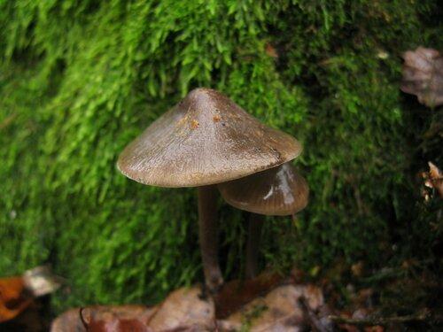 Мицена колпаковидная (Mycena galericulata) Автор: Станислав Кривошеев