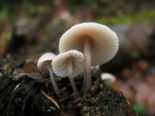 Мицена колпаковидная (Mycena galericulata). Все они какие-то очень разные, но других вариантов вроде бы и нет Автор фото: Станислав Кривошеев