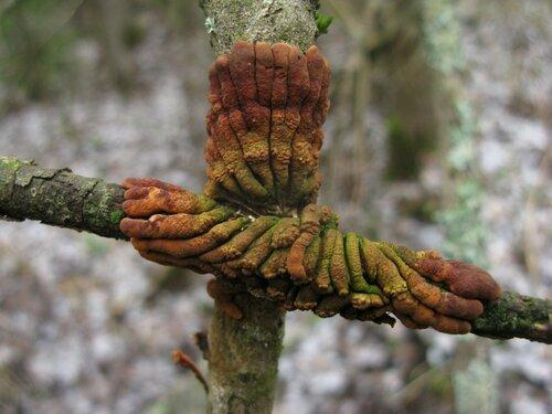 Гипокреопсис лишайниковидный (Hypocreopsis lichenoides). А на гипокреопсисы, наоборот, очень даже рассчитывал. И они не подвели Автор фото: Станислав Кривошеев