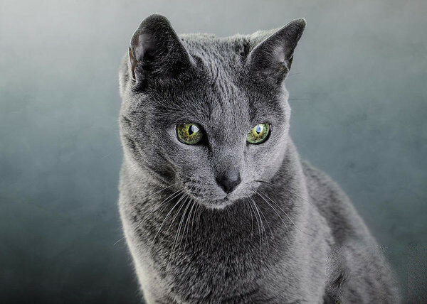 8-russian-blue-cat-nailia-schwarz.jpg