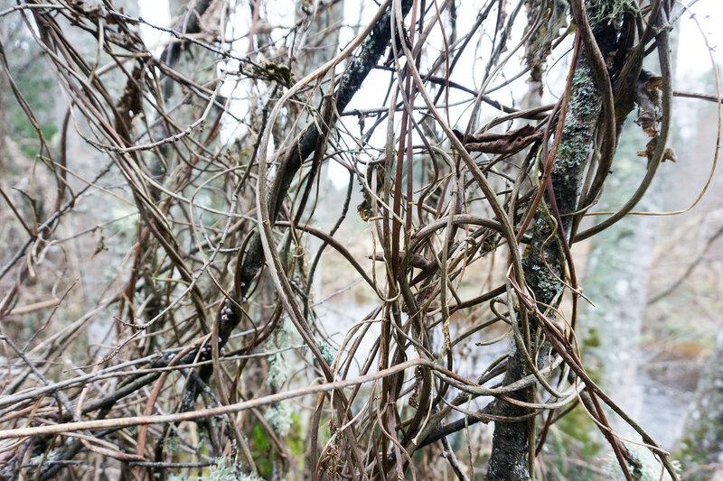 заросли хмеля на берегу реки оредеж
