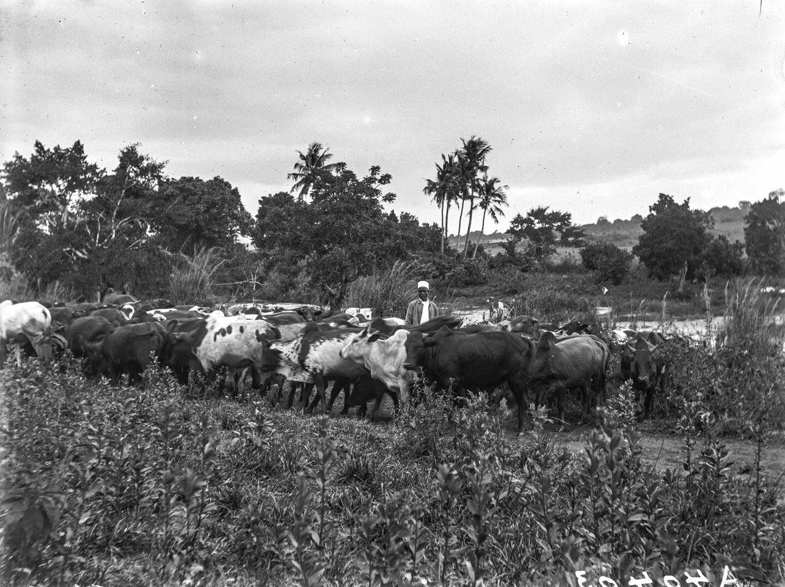 113. Пастух с стадом недалеко от Корогве