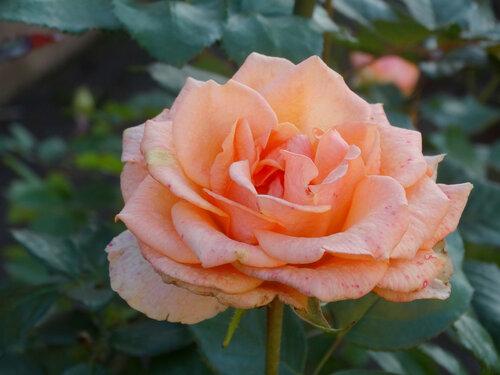 Ноябрьская роза...