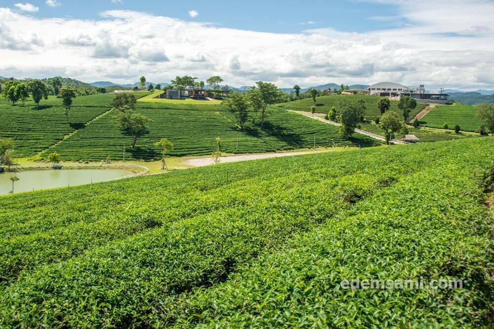 Чайная плантация Чуйфонг
