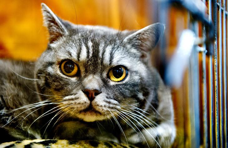 2. Мейн-куны среди домашних кошек считаются одними из самых крупных: самцы могут весить до 11 килогр