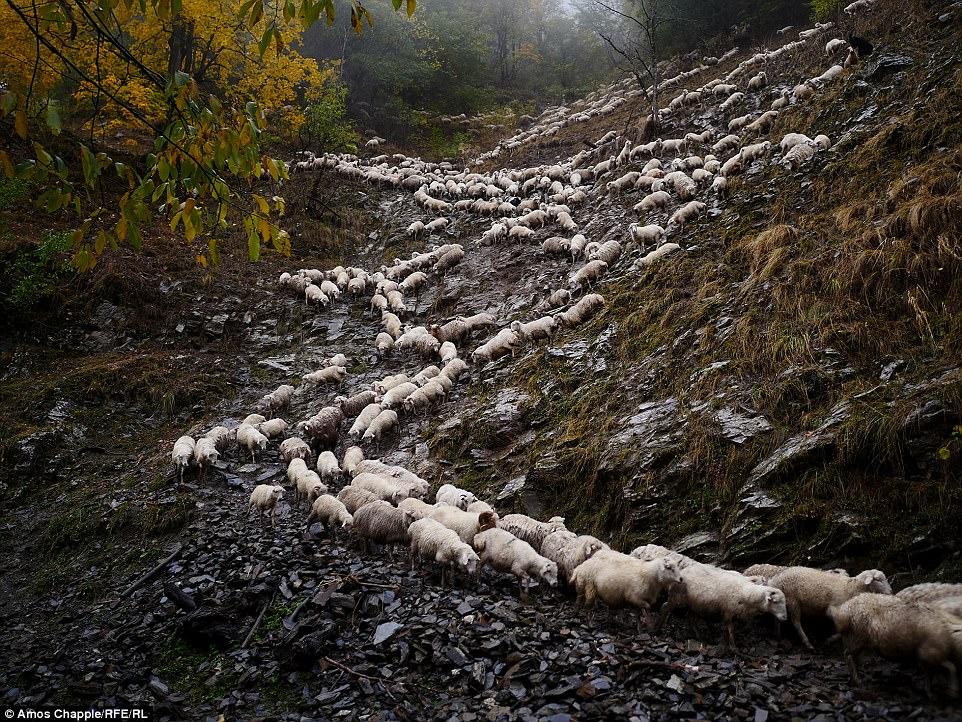 Каждый год тысячи овец в Грузии совершают опасный путь с гор высотой 3000 метров
