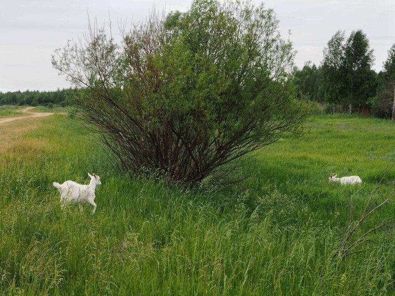 Встретились козы, их часто оставляют на этом месте.
