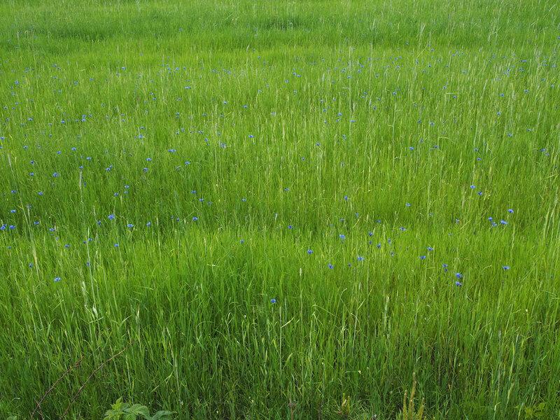 В поле прячутся васильки.