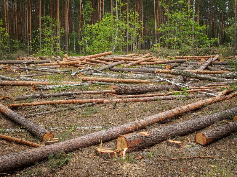 Валят лес.