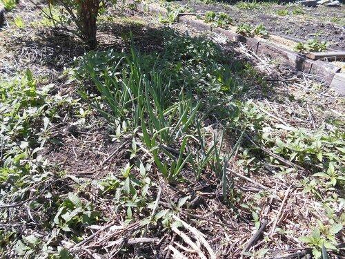 всходят посадки семенного лука