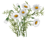 daisies vector-1.png