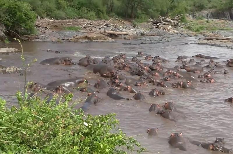 Бегемоты едва не разорвали крокодила, который пытался съесть их теленка