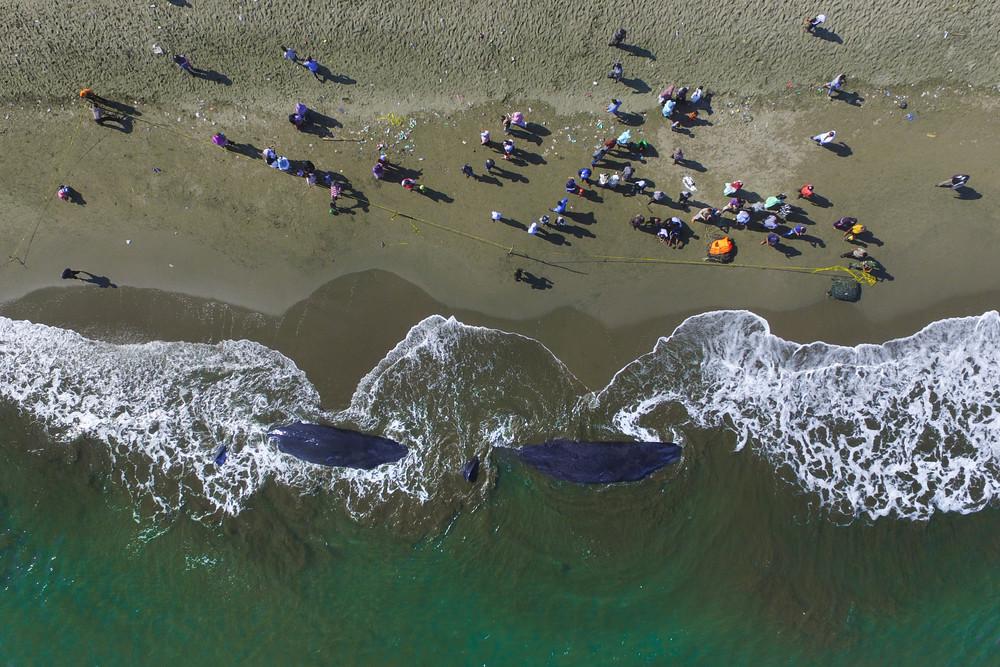 10 китов выбросились на пляж в Индонезии