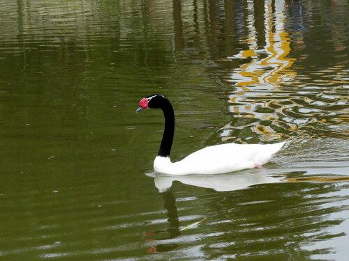 Черношейный лебедь в монастырском пруду