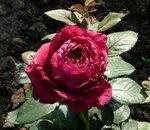 Rose des 4 Vents.jpg