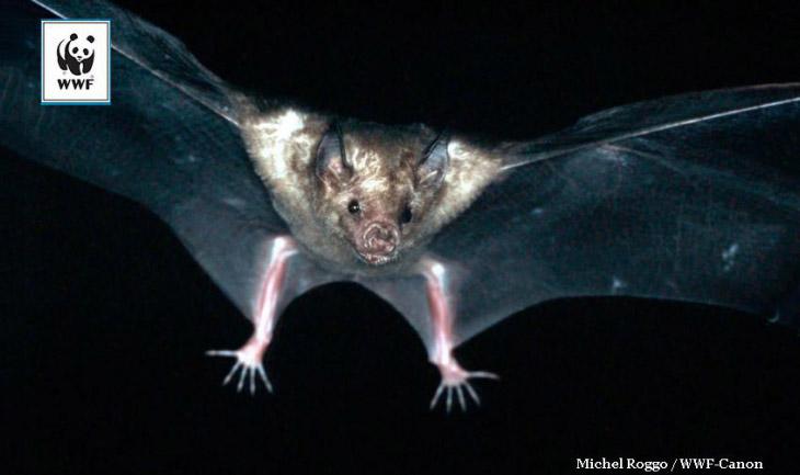 2. Малый ангольский крылан    Крыланы не летучие мыши — их называют летучими с