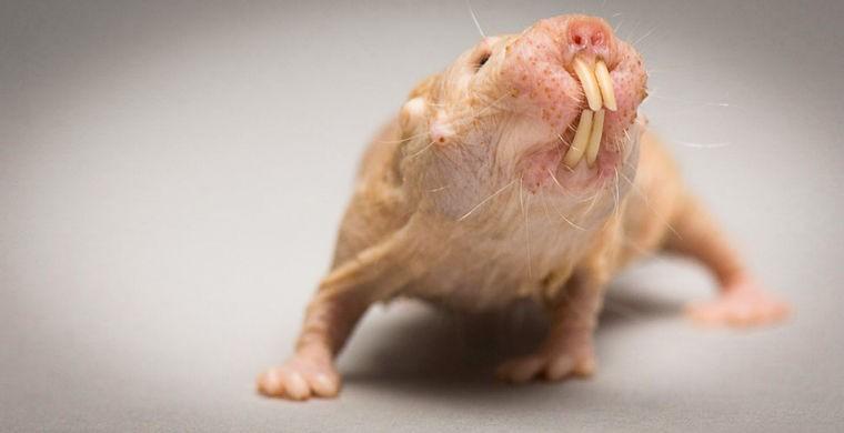 10. Это малосимпатичное подземное существо обитает в засушливых саваннах и полупустынях африканских