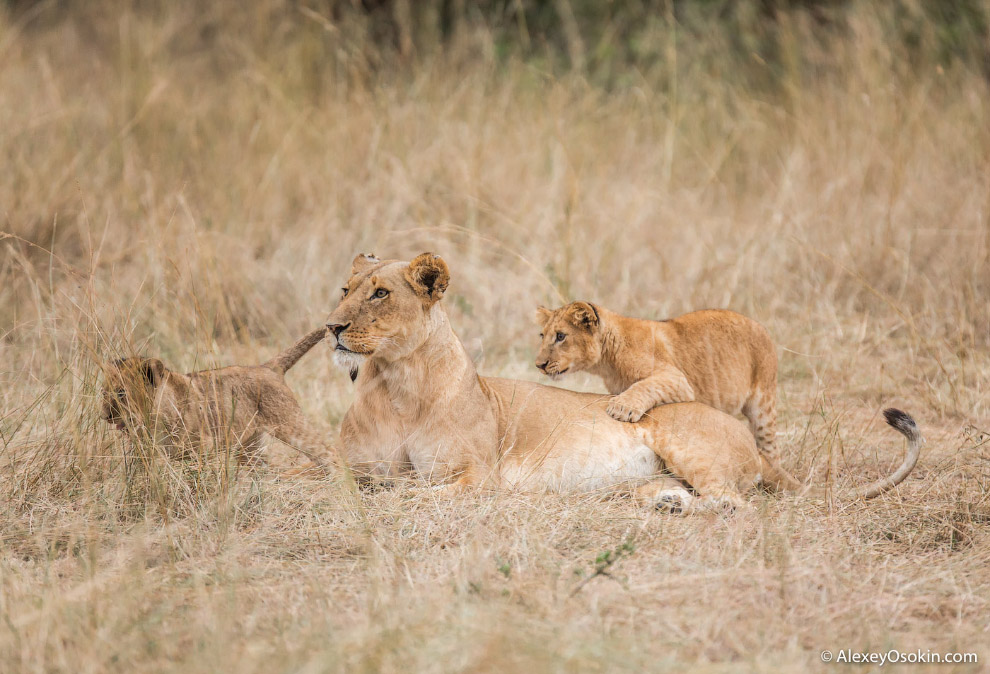 7. Воспитываются дети очень строго. За малейшее непослушание любая из львиц может наказать любого ко