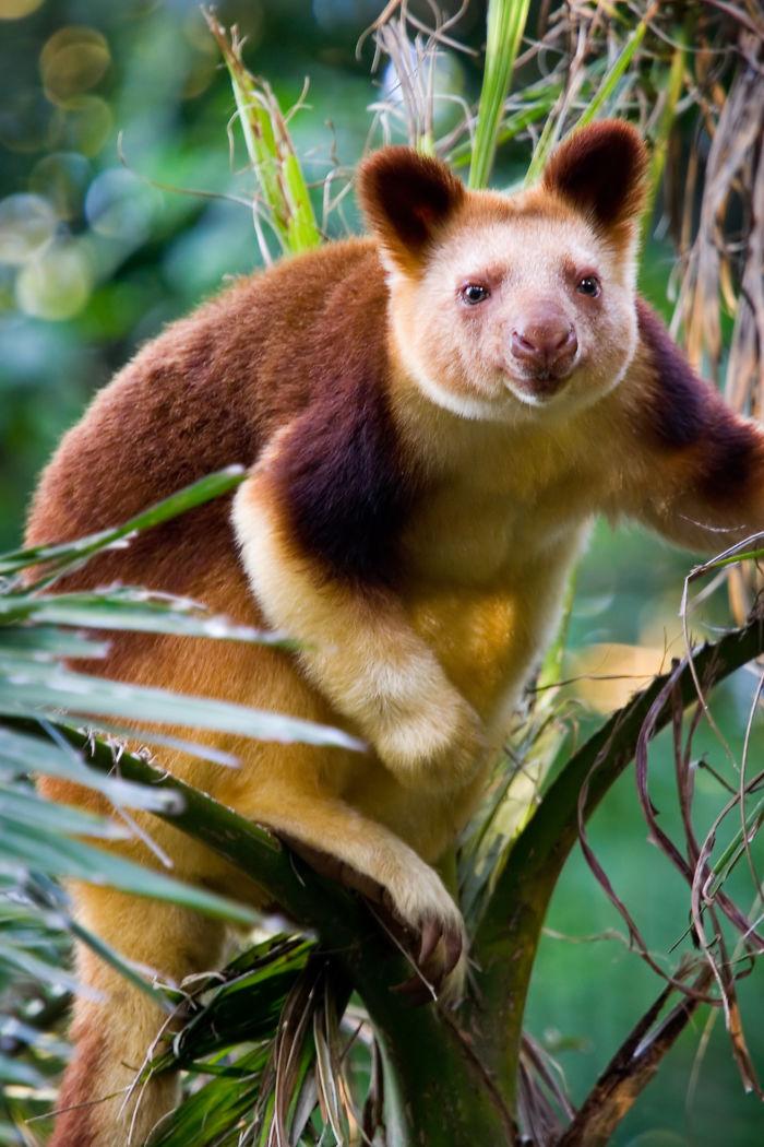 Из двенадцати видов древесных кенгуру, десять обитают в тропических лесах Новой Гвинеи, расселившись