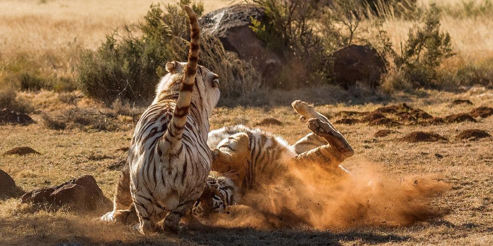 7. Взрослые тигры — территориальные животные, ведущие одиночный образ жизни и яростно защищающие сво