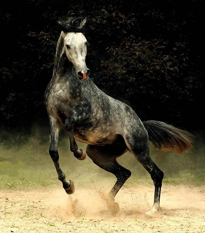 32. Арабские лошади можно зачастую увидеть на эмблемах отдельных команд. (Wojtek Kwiatkowski)