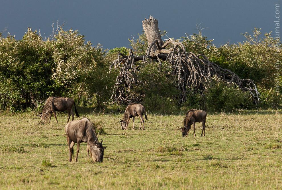 Масаи-Мара — самый известный заповедник в Кении