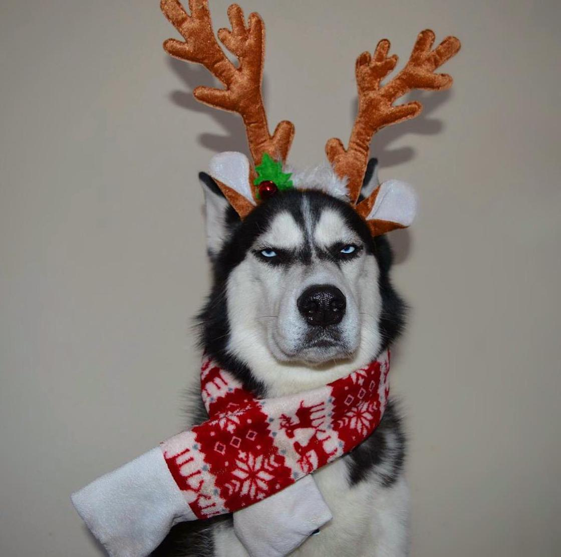 When the most serious Husky in the world poses for a Christmas card