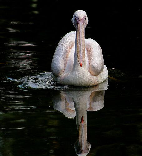 Портретик пеликана