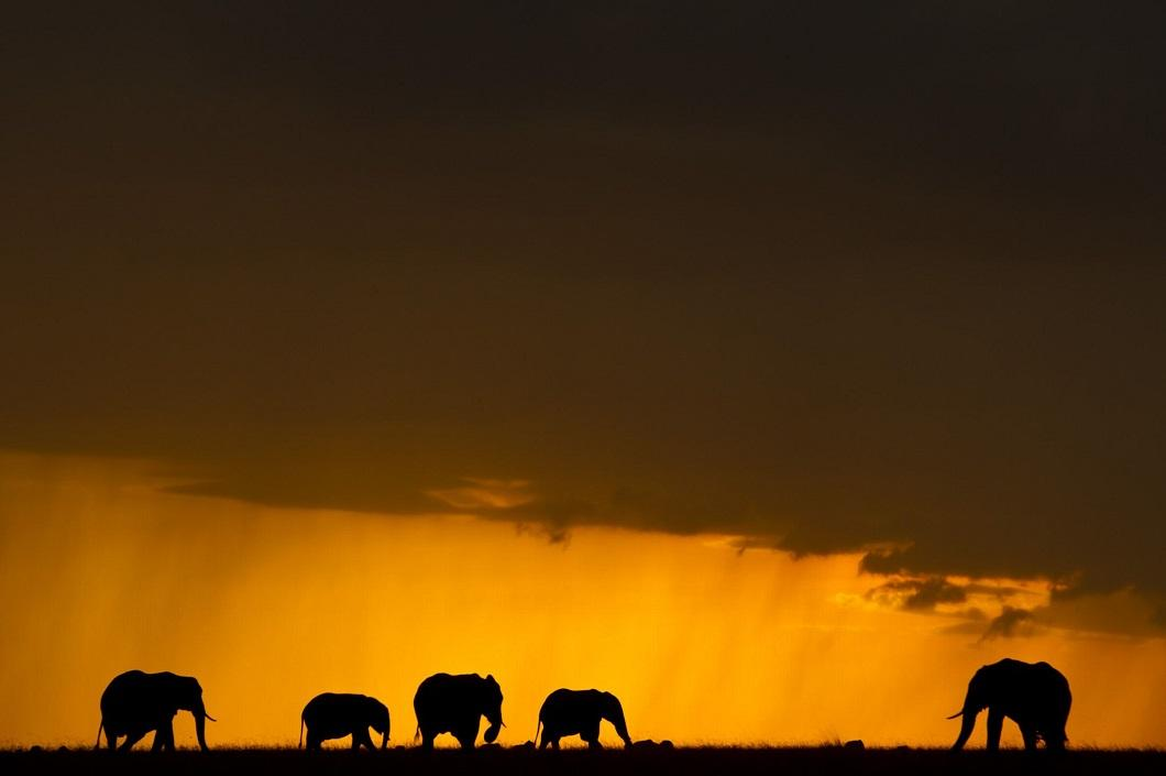 8. Слоны на закате. (Фото: Пол Гольдштейн / Rex)