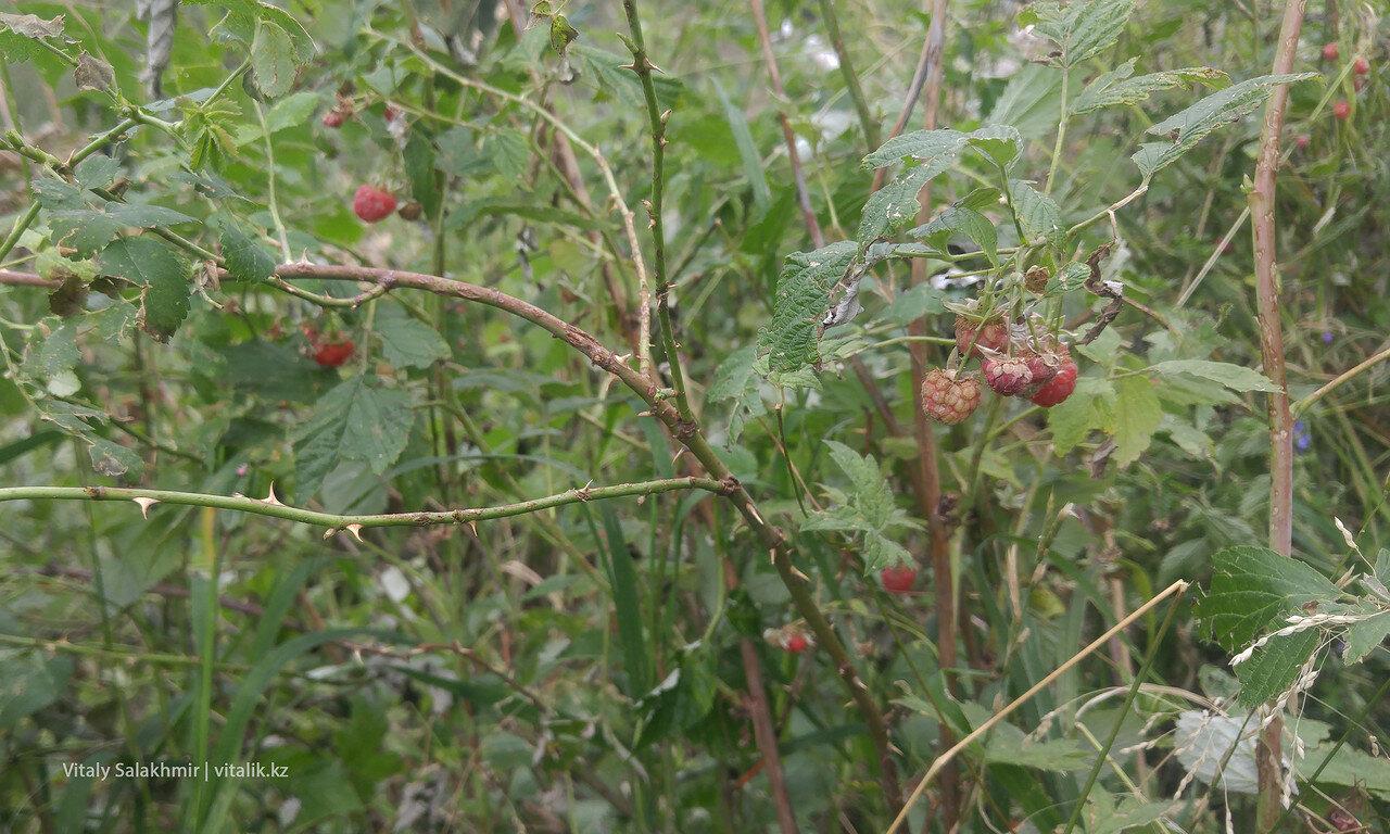 Горная малина на Кок-Жайляу.