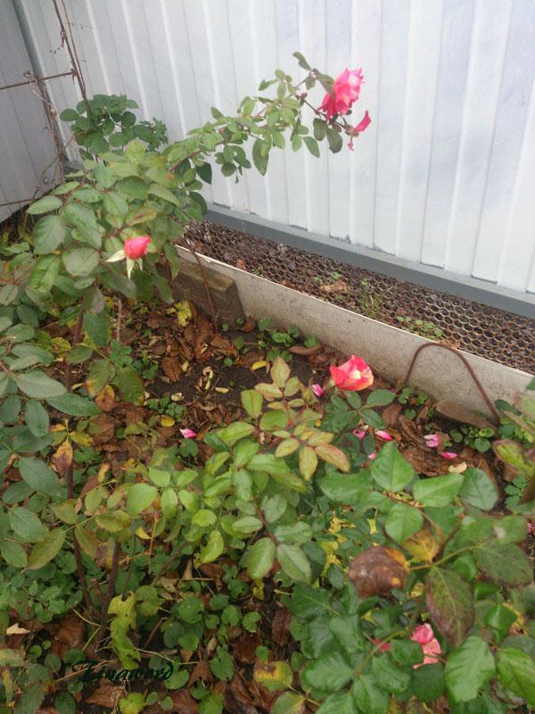 цветы-осени-8.jpg