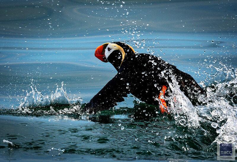 Океанские птицы Камчатки