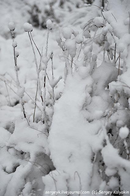 Echinacea purpurea.JPG