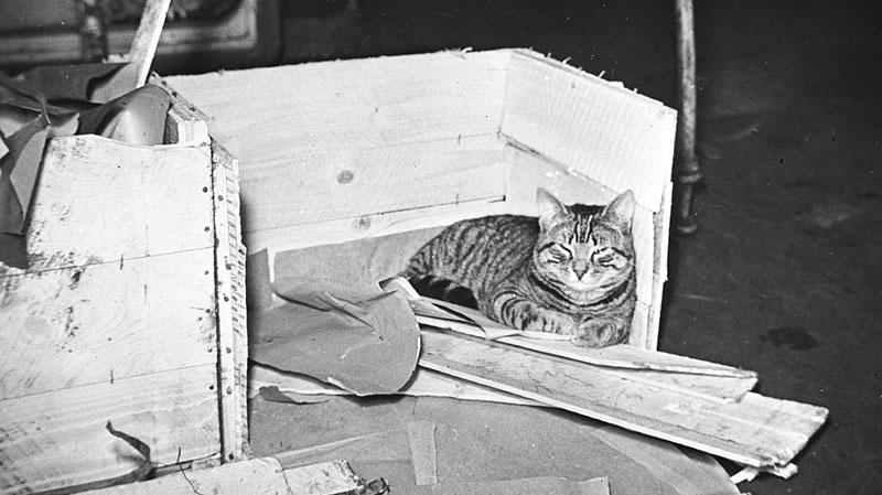 """Корабельный кот """"Дюк оф Йорк"""" по имени Виски отдыхает после нелегкой победы над """"Шарнхорстом""""."""
