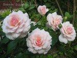 роза Bremer Stadtmusikanten