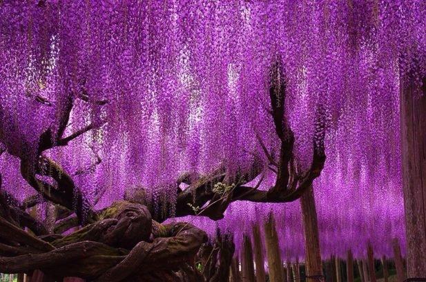 4. Делением королевский — огненное дерево, произрастающее в Бразилии.