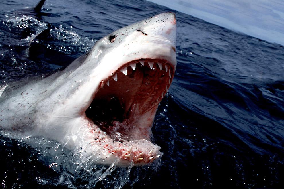 Прим.  Надо понимать, что акула специально не охотится на людей — их мясо банально н