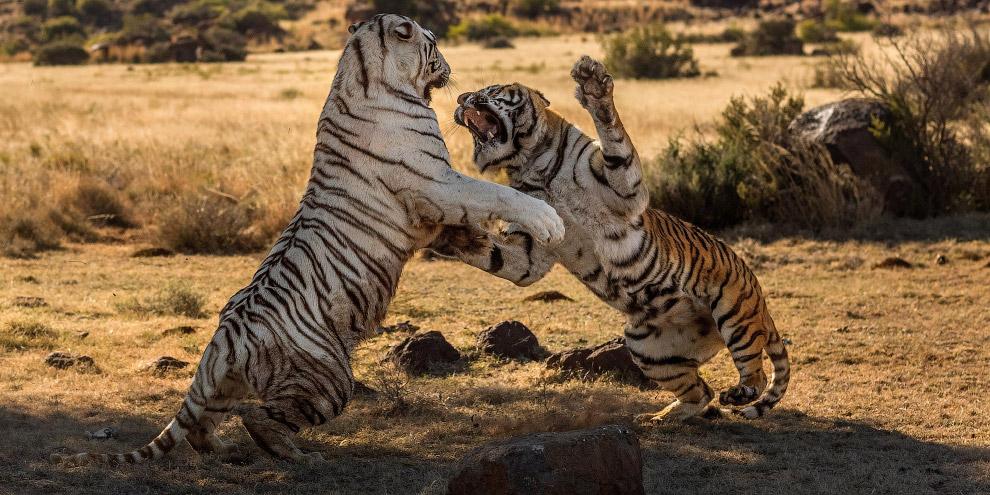 3. В этой схватке «оранжевая» тигрица решила отхватить себе кусок чужой территории. Но «белая» тигри