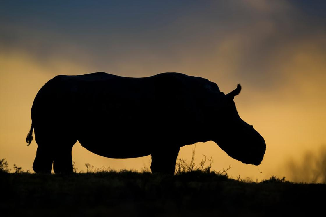 Thandi, the female white rhino who lost her horn to poachers, has become a symbol of survival in the