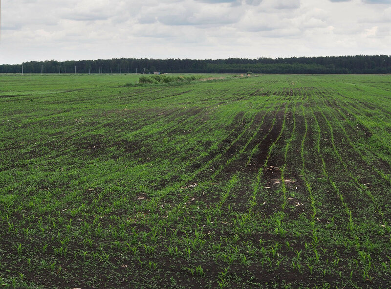 Некоторые поля засеяны кукурузой, но она ещё совсем маленькая.