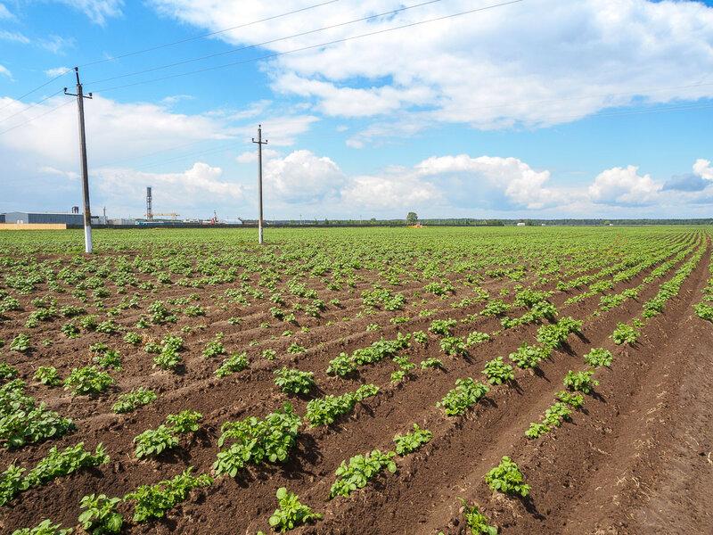 Дальше встретились картофельные поля.