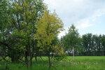 ж0лты клён в июне