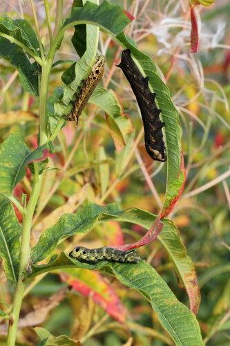 Гусеницы бабочки Винный бражник