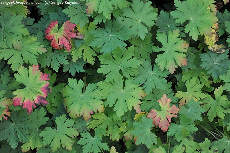 Geranium macrorrhizum.JPG
