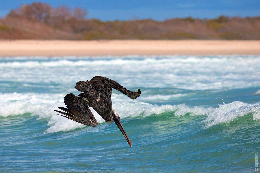Самые многочисленные жители острова —  морские игуаны . Это единственный в мире вид и