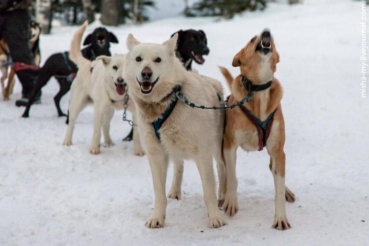 2. В Краблунике живет больше двухсот собак. Примерно половина из них участвовала в вечернем заезде.