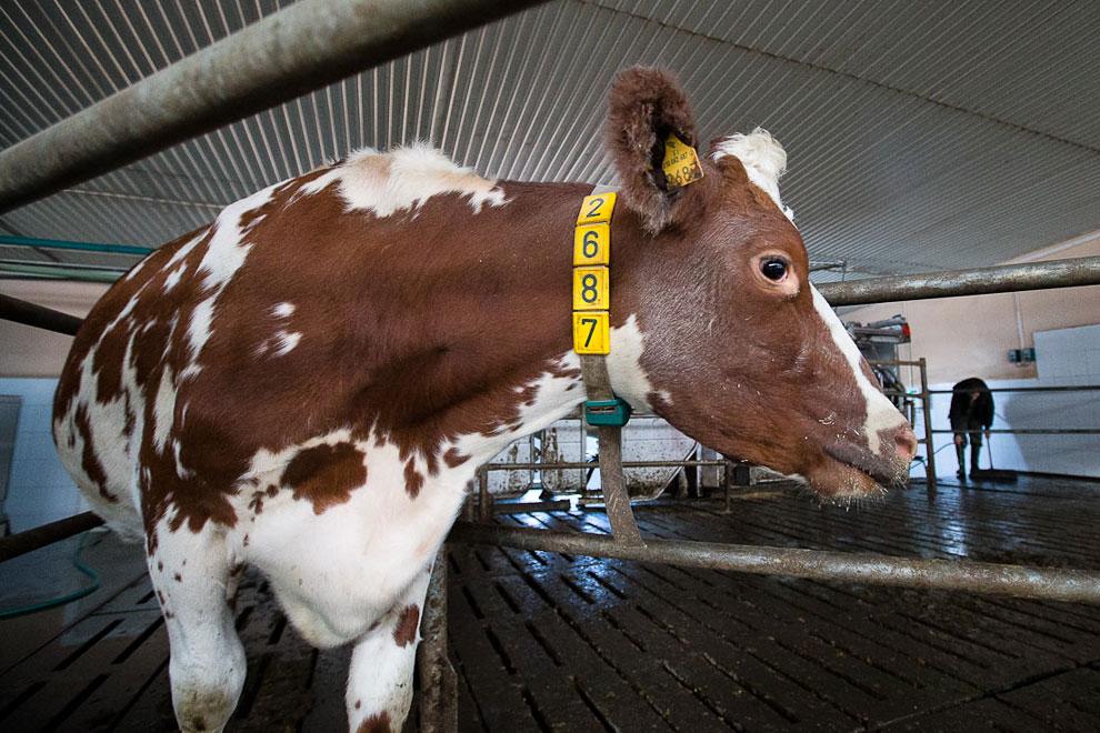 После дойки робот заносит в память данные о надое и самочувствии коровы. Каждая корова приносит в де