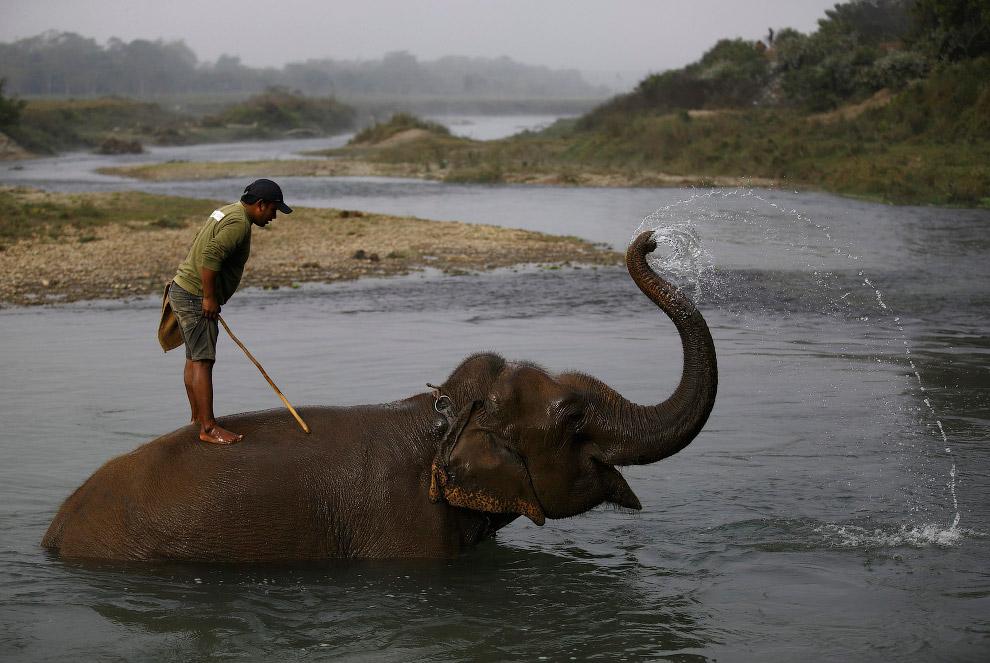 22. У больших слонов подпилены бивни для безопасности. (Фото Navesh Chitrakar):