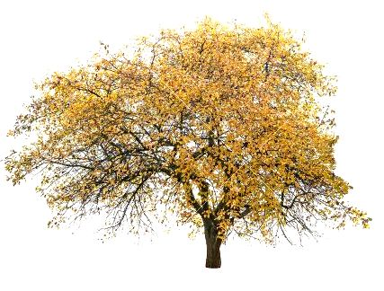 48929262-autumn-trees-isolated-on-white-background-Stock-Photo.jpg